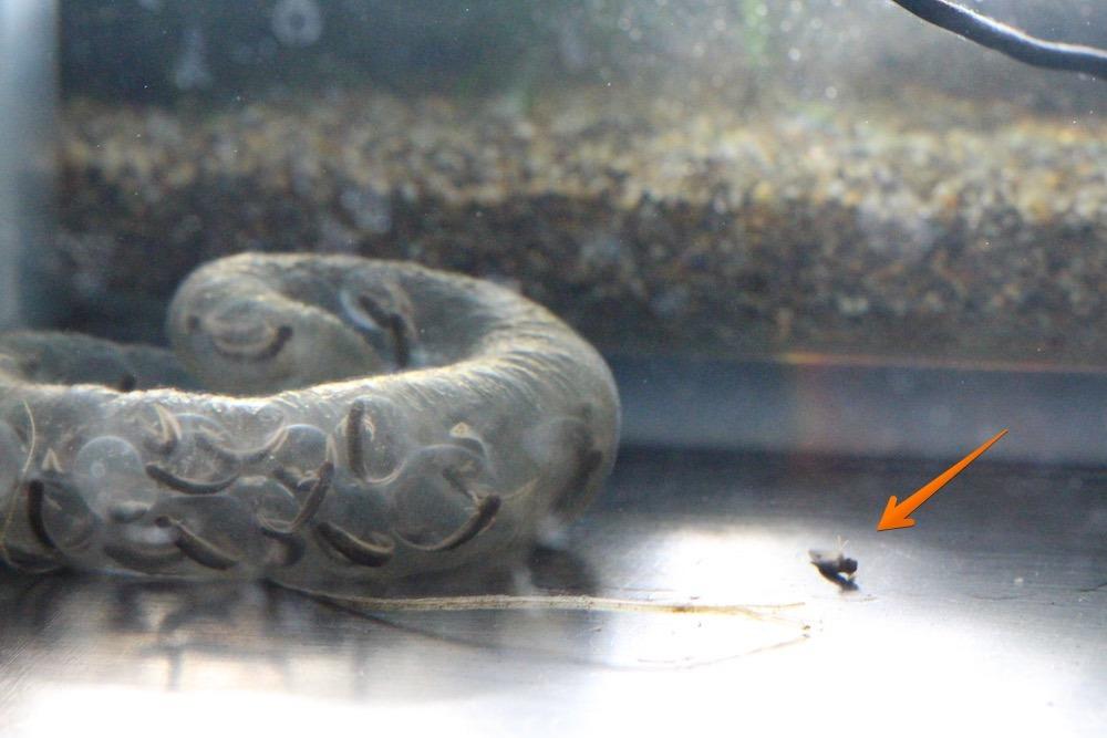 tokyosalamander20160305_2