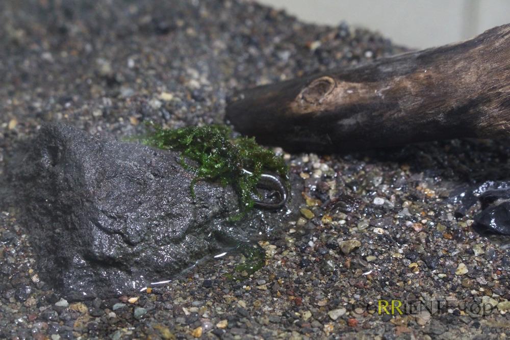 salamander-20160430_2